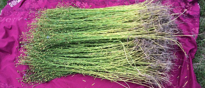 Flax Stalks